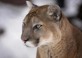 Lion de montagne photo