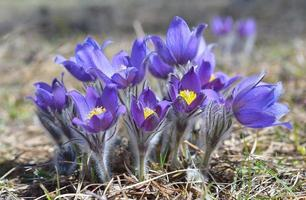 pasqueflower (pulsatilla montana) photo