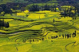 champ de colza avec montagne photo