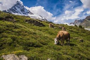 Vache alpine mange de l'herbe dans les montagnes photo