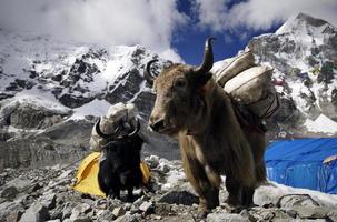 attaque de yak! photo