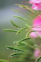rosée de montagne et fleur
