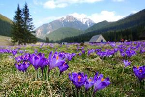 Crocus dans la vallée de Chocholowska, montagnes Tatra, Pologne