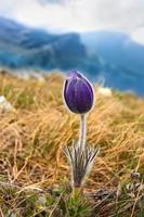 pasqueflower dans les montagnes photo