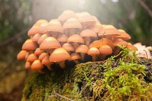 champignons vénéneux dans le bois photo