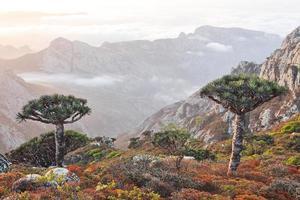 Dragonniers dans les hautes terres de Socotran photo