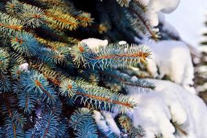 pattes d'épinette bleue (lat. picea pungens) dans la neige photo