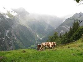 vache sur la montagne - murren photo