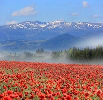 Prairie de fleurs de pavot dans les montagnes