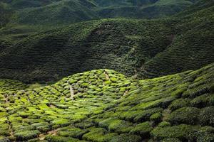 plantation de thé dans les montagnes photo