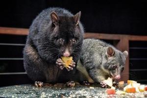 mère et bébé possum de montagne photo