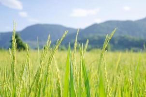 rizière avec montagne derrière photo