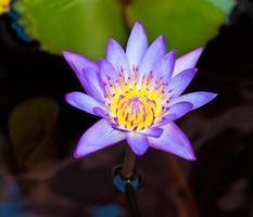 lotus sur la rivière