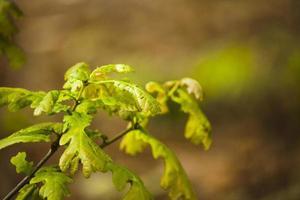 de nouvelles feuilles de chêne poussant dans les bois photo