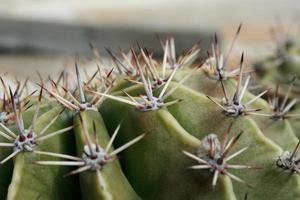 kaktus photo