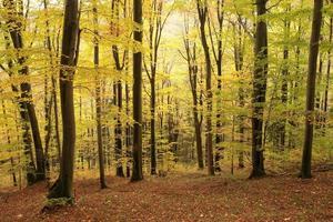 forêt de hêtres d'automne