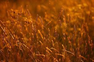 coucher de soleil, herbe d'été fond doré photo
