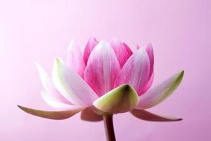 nénuphar, lotus photo