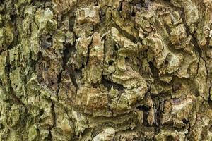 écorce brune d'un vieil arbre photo