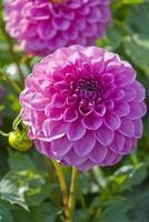 deux beaux dahlias roses photo