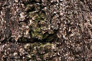 texture d'arbre vieux et sec pour le fond