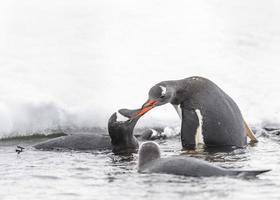 pingouins jouent sur la roche de glace