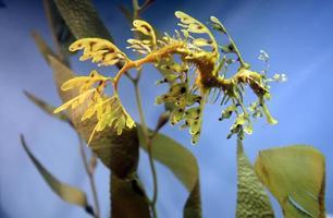 seadragon feuillu (hippocampe) photo