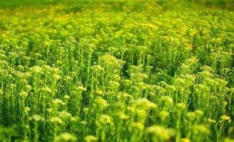 plantes de plein champ