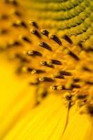Gros plan de belles étamines de tournesol jaune, pistils et polle photo