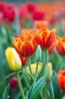 tulipes sous la pluie photo