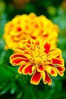 chrysanthèmes photo