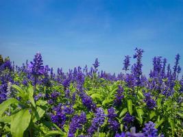 plante de salvia bleue