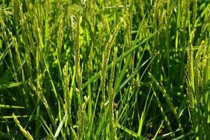 gros plan de l'usine de riz