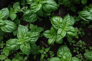 plantes de basilic
