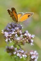 papillon pyronia sur fleur photo