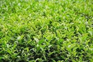 usine de thé vert japonais photo