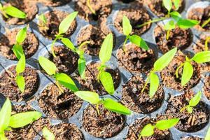 jeune plante pour la récolte photo