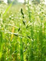 plantes d'avoine dans un champ. photo