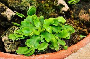 Vénus flytrap ou plante carnivore