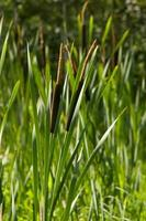 plantes de scirpe dans le marais