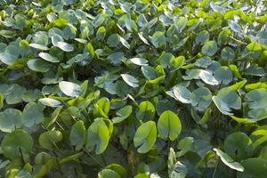 les feuilles des plantes en pointe de flèche dans les zones humides