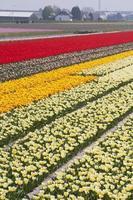 champs de tulipes photo