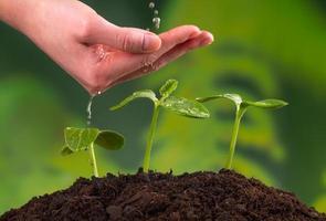 femme, main, arrosage, jeunes plantes photo