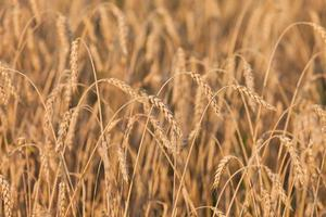 plante de champ de l'agriculture de blé ou de seigle photo