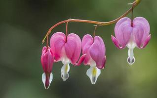 fleur de coeur saignant photo