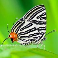 club silverline, spindasis syama terana, papillon blanc à queue orange photo