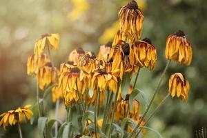 marguerite de fleurs fanées