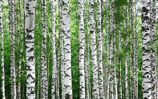 troncs de bouleaux en été