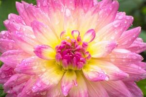 gros plan beau dahlia rose après la pluie