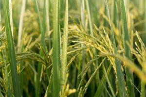 plante de riz photo